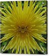 Yellow Spider Mum Acrylic Print