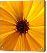 Yellow Splendour Acrylic Print