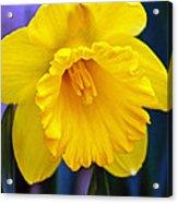 Yellow Spring Daffodil Acrylic Print