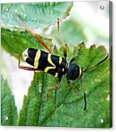 Yellow Stripped Beetle Acrylic Print