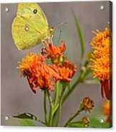 Yellow Sulphur Butterfly Acrylic Print