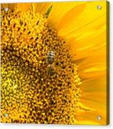 Yellow Sunflower - Detail Acrylic Print