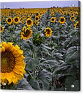 Yellow Sunflower Field Acrylic Print by Dave Dilli