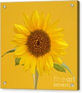 Yellow Sunflower On Yellow Acrylic Print