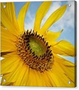 Yellow Sunflower Acrylic Print