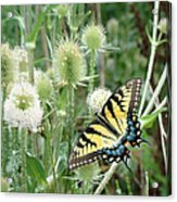 Yellow Swallowtail Butterfly Acrylic Print