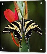 Yellow Swallowtail Butterfly  Acrylic Print