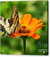 Yellow Swallowtail Acrylic Print