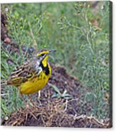 Yellow-throated Longclaw Acrylic Print