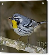 Yellow-throated Warbler Acrylic Print
