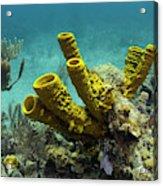 Yellow Tube Sponge (aplysina Fistularis Acrylic Print
