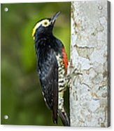 Yellow-tufted Woodpecker Acrylic Print