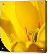 Yellow Tulip Closeup Acrylic Print