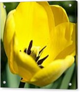 Yellow Tulip Cup Acrylic Print