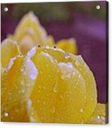 Yellow Tulip Dappled With Rain Acrylic Print