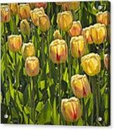 Yellow Tulip Flowers On Windmill Island In Holland Michigan Acrylic Print