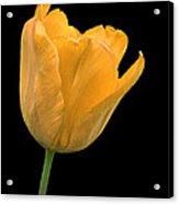 Yellow Tulip Open On Black Acrylic Print