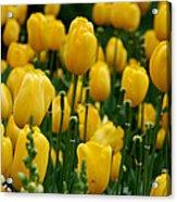 Yellow Tulip Sea Acrylic Print