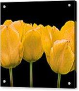 Yellow Tulip Triple Acrylic Print