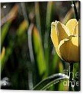 Yellow Tulip With Dew Acrylic Print