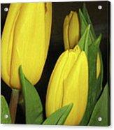 Yellow Tulips Acrylic Print