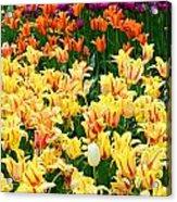 Yellow Tulips In Bloom Acrylic Print