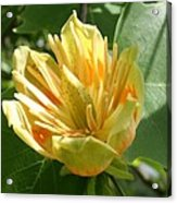 Yellow Tuliptree Flower Acrylic Print