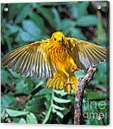 Yellow Warbler Dendroica Petechia Acrylic Print