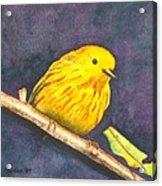 Yellow Warbler II Acrylic Print