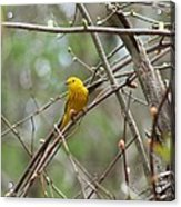 Yellow Warbler Acrylic Print