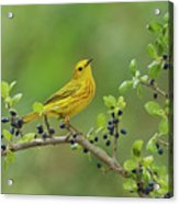 Yellow Warbler Male Perched On Elbow Acrylic Print