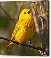 Yellow Warbler Singing Acrylic Print