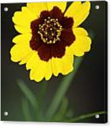 Yellow Wild Flower Acrylic Print
