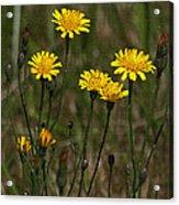 Yellow Wild Flowers Along The Chehalis Trail Acrylic Print