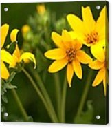 Yellow Wildflowers Acrylic Print