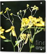 Yellow Wildflowers Acrylic Print
