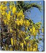 Yellow Wisteria Blooms Acrylic Print