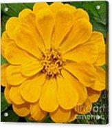 Yellow Zinnia Acrylic Print