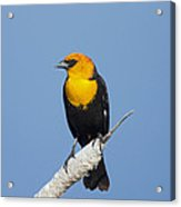 Yellowheaded Blackbird Acrylic Print