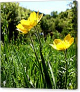 Yellows Acrylic Print by Lucy D