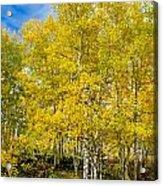 Yellows Of Fall Acrylic Print