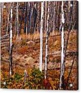 Yellowstone Aspens Acrylic Print