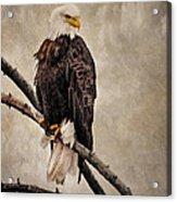 Yellowstone Bald Eagle Acrylic Print