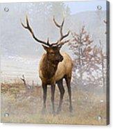 Yellowstone Bull Elk Acrylic Print
