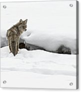 Yellowstone Coyote Acrylic Print by David Yack