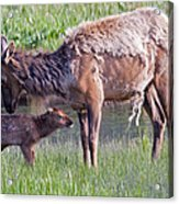 Yellowstone Elk Cow And Calf Acrylic Print