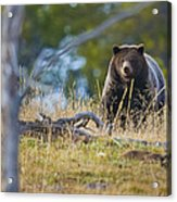 Yellowstone Grizzly Coming Over Hill Acrylic Print