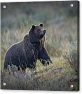 Yellowstone Grizzly On The Lookout Acrylic Print