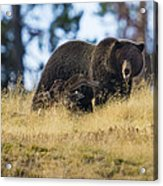 Yellowstone Grizzly Showing Teeth Acrylic Print
