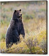 Yellowstone Grizzly Standing - 1 Acrylic Print